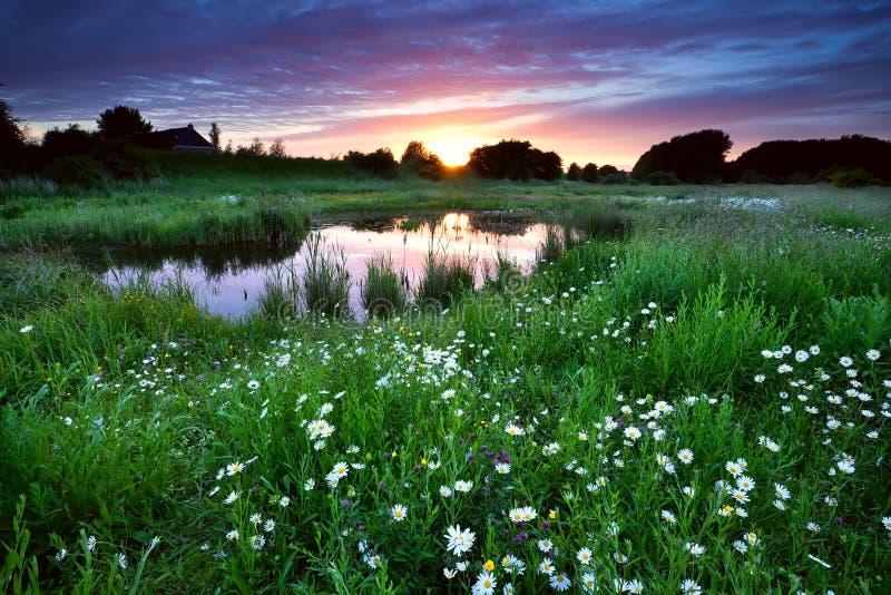 Zonsondergang over weide met vele madeliefjebloemen royalty-vrije stock afbeeldingen