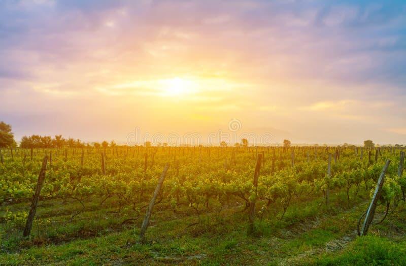 Zonsondergang over wijnstokken in Kakheti-gebied stock foto's
