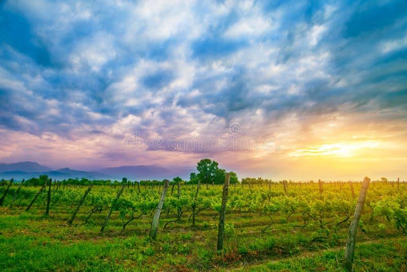 Zonsondergang over wijnstokken in Kakheti-gebied royalty-vrije stock afbeeldingen
