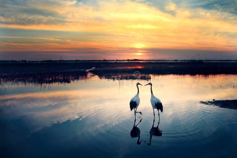 Zonsondergang rood-bekroonde kraan stock fotografie