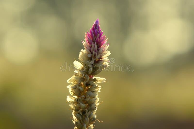 Zonsondergangbloemen stock afbeeldingen