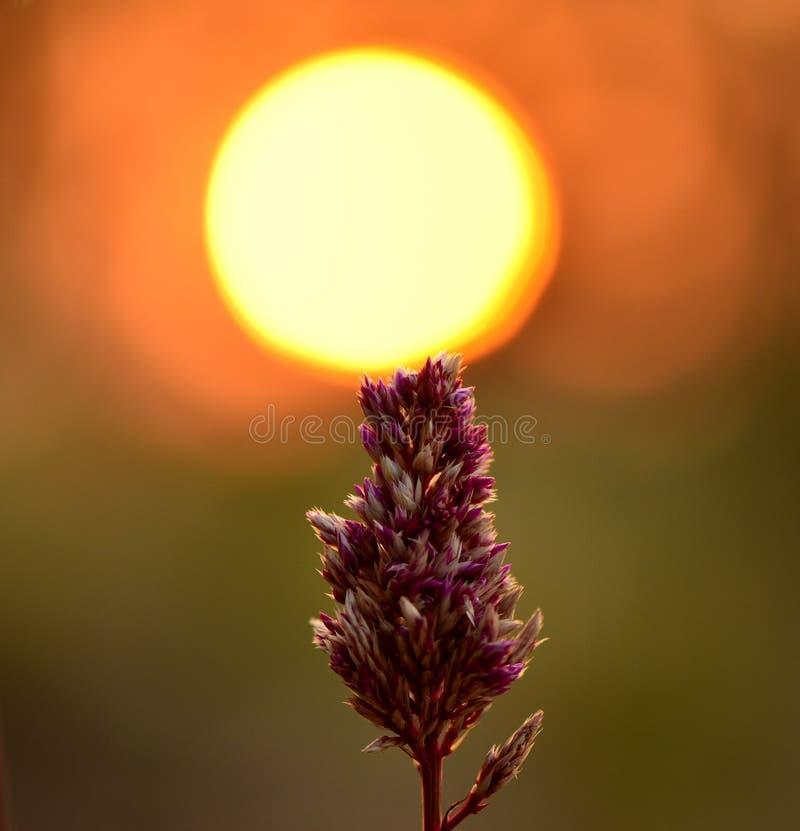 Zonsondergangbloemen stock foto's