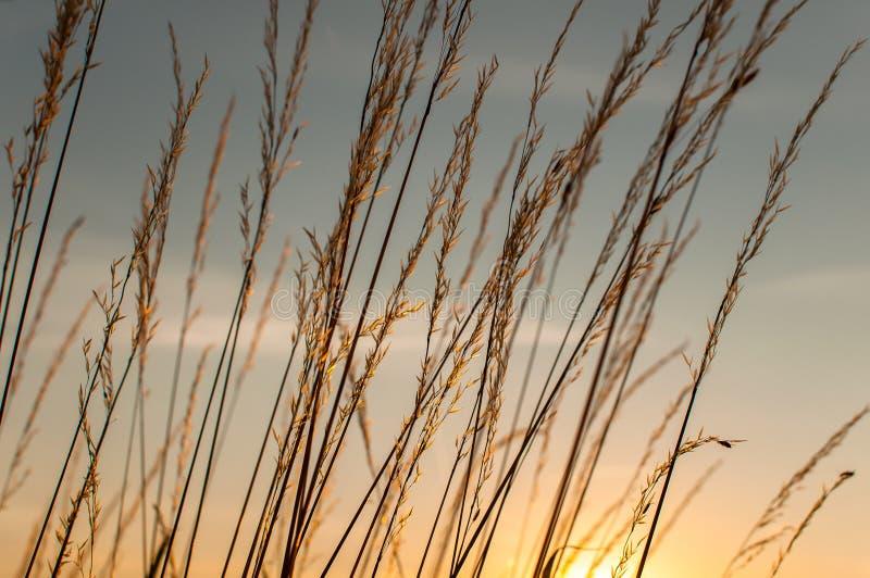 Zonsonderganggraan stock afbeeldingen