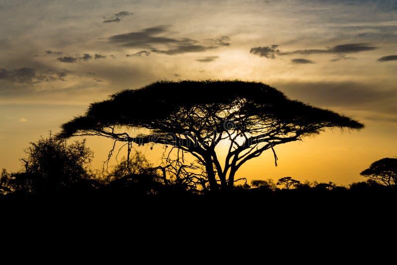Zonsondergangsilhouet van Afrikaanse acaciabomen in savannestruik stock foto's