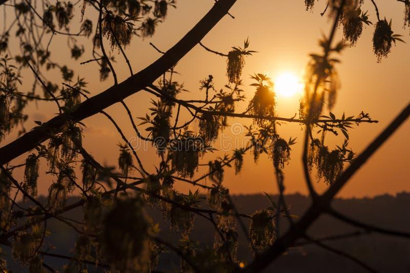 Zonsondergangsilhouetten van het bloeien de takkenhoogtepunt van de Asboom van bloemen royalty-vrije stock afbeeldingen