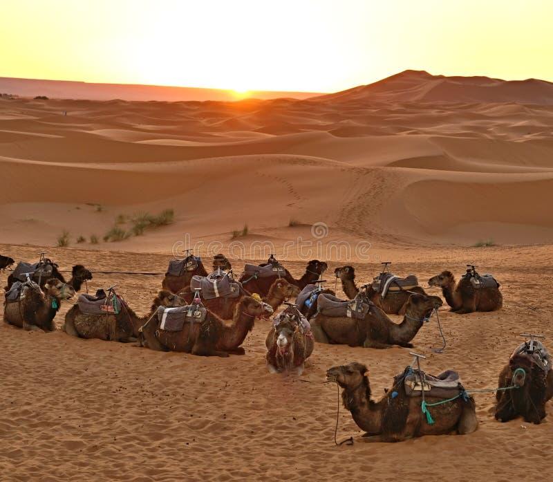 Zonsopgang in de Woestijn van de Sahara Een groep één-humped kamelen rustend vóór de overgang royalty-vrije stock afbeelding