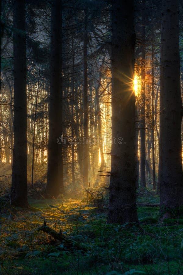 Zonsopgang in donker bos stock fotografie