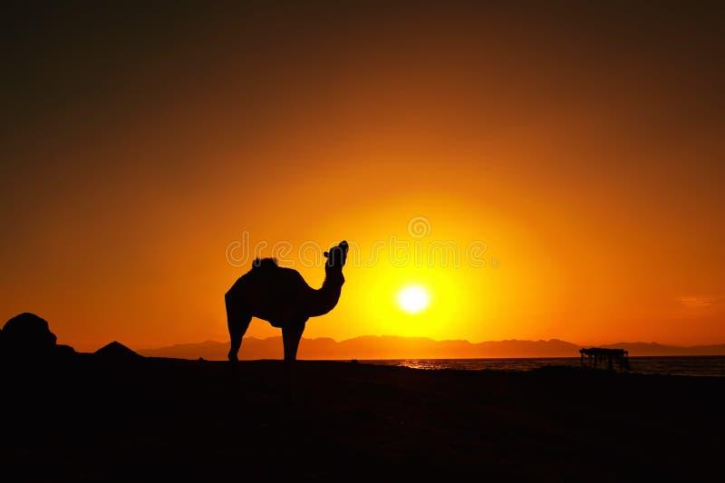 Zonsopgang en kameel in Dahab, Egypte stock foto