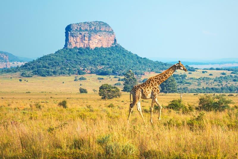 Zonsopgang in Entabeni Safari Game Reserve, Zuid-Afrika royalty-vrije stock foto