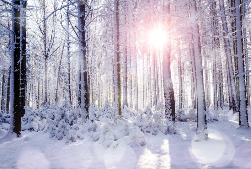 Zonsopgang in het bos tussen de bomenboomstammen in de winter stock afbeeldingen