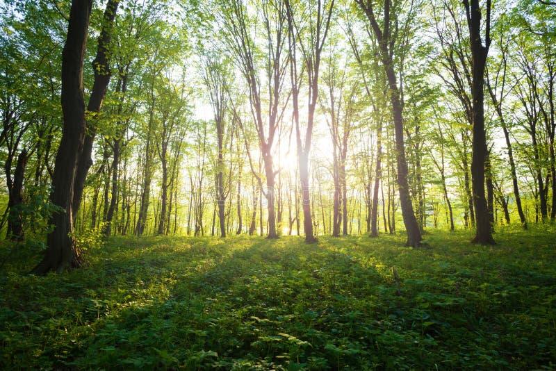 Zonsopgang in het groene bos royalty-vrije stock foto