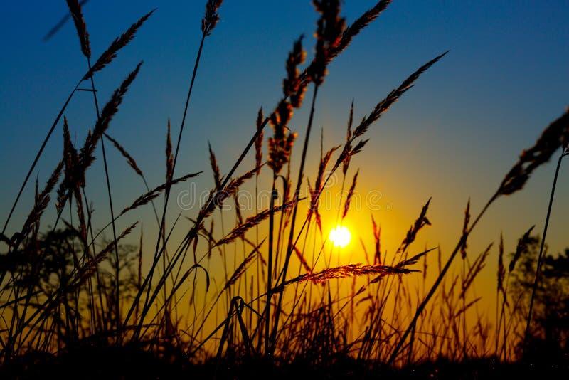 Zonsopgang op het gebied van de de zomertarwe met weidegras stock afbeeldingen