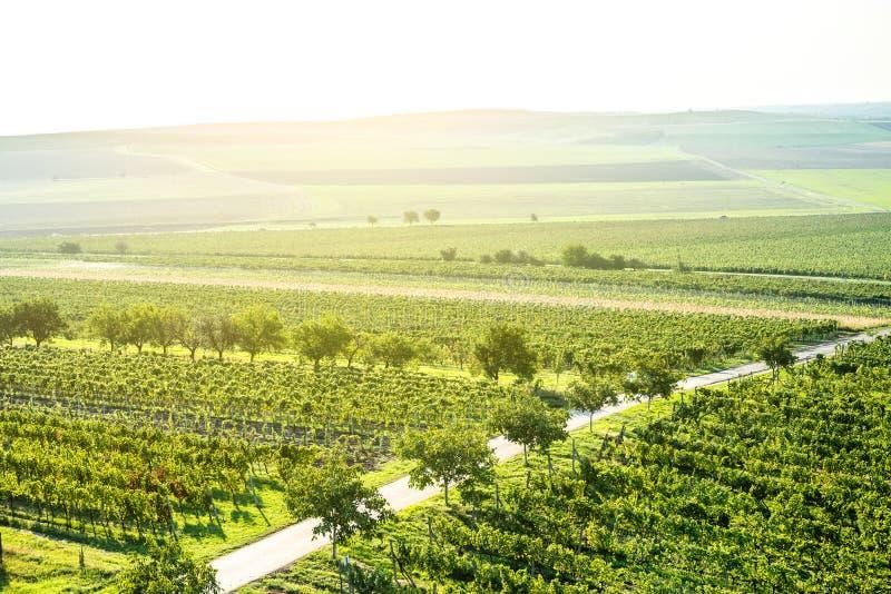 Zonsopgang over groene wijngaarden, Moravië stock afbeelding
