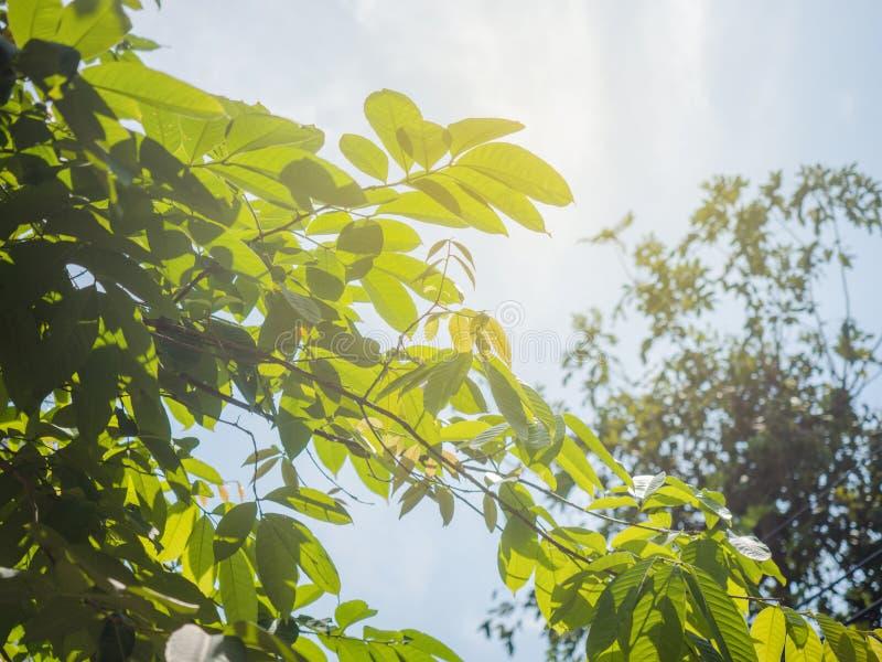 Zonstraal met blauwe wolkenhemel en vers gebladerte Verse groen van zonneschijn het filtreren door bladeren stock afbeelding