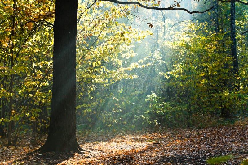 Zonstralen aangestoken open plek in de herfstbos stock foto