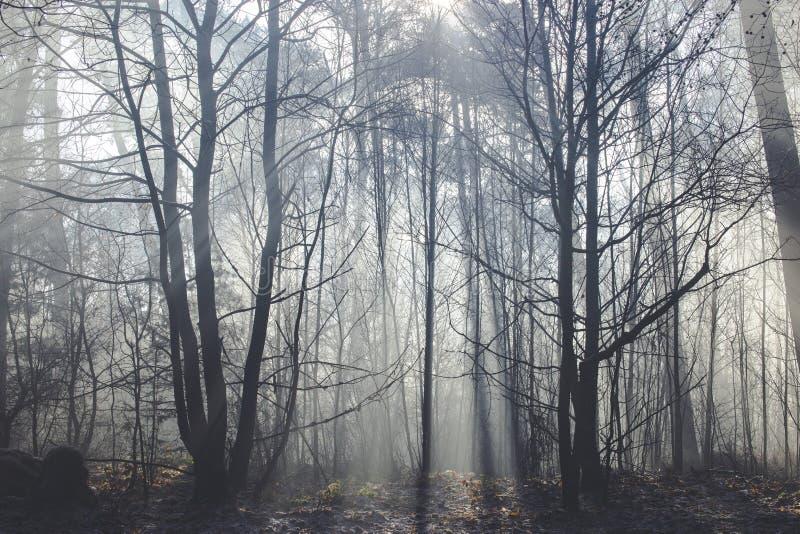 Zonstralen die door bos met in de schaduw gestelde gesilhouetteerde bomen komen stock foto's