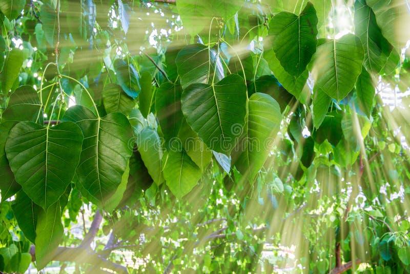 Zonstralen door Banyan-bomen in de recente ochtend royalty-vrije stock foto's