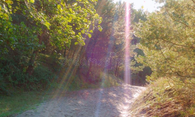 Zonstralen in een pijnboombos, zonlicht in het bos royalty-vrije stock afbeeldingen