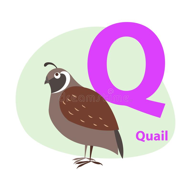 Zoo ABC Letter with Cute Quail Cartoon Vector. Children ABC with cute animal cartoon vector. English letter Q with funny quail flat illustration isolated on vector illustration