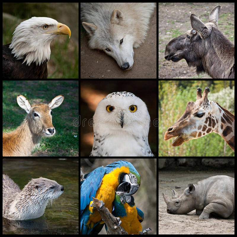 Zoo animals. Collage from heads of different animals, from upper left to right: Bald Eagle (Haliaeetus leucocephalus), Arctic Wolf (Canis lupus arctos), Eurasian stock image