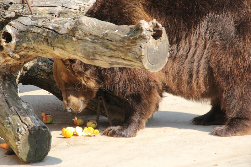 Zoo. The bear looks forward. Photo 6 stock images