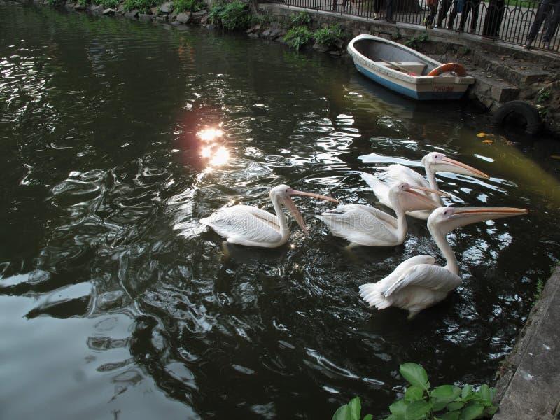 Zoo dans des pélicans de Guangzhou images stock