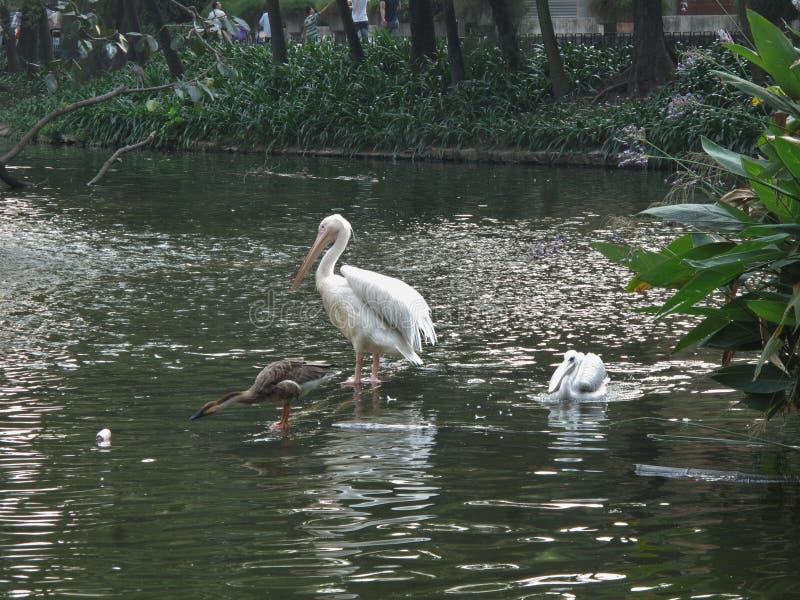 Zoo dans le pélican et le canard de Guangzhou photographie stock libre de droits