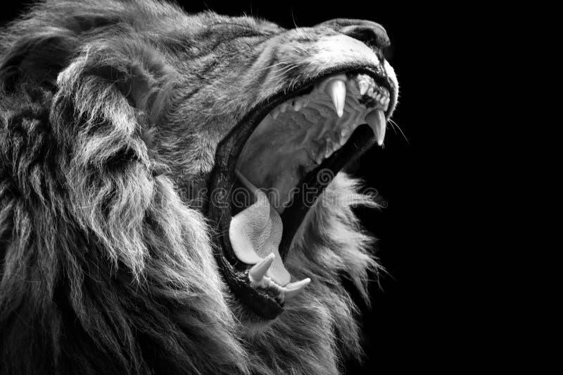 Zoo de baîllement de Dartmoor de lion images libres de droits