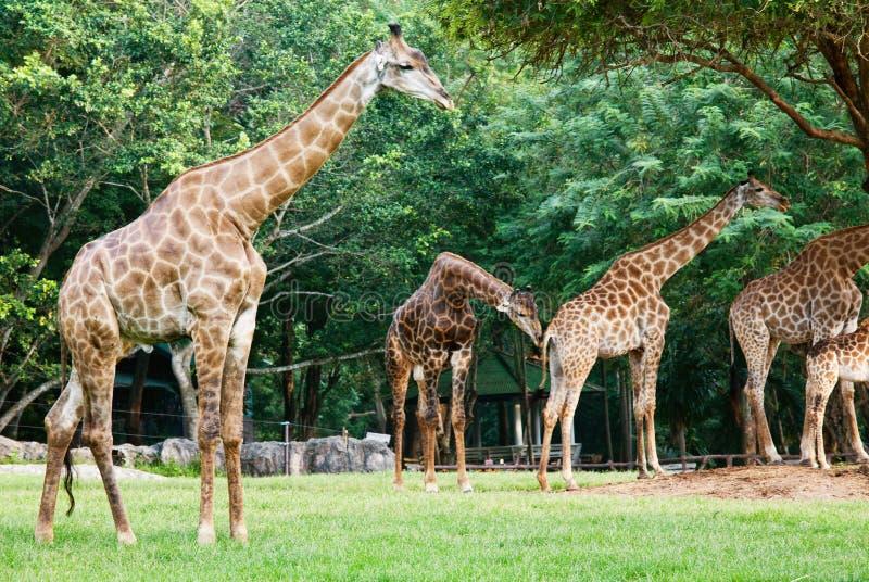 zoo de giraf photo stock