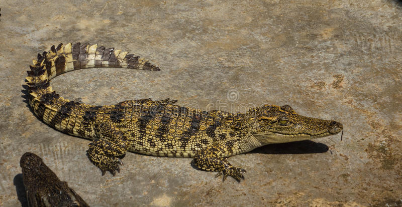 Download Zoo De La Thaïlande D'eau De Mer De Crocodile Photo stock - Image du jungle, carnivore: 87707516
