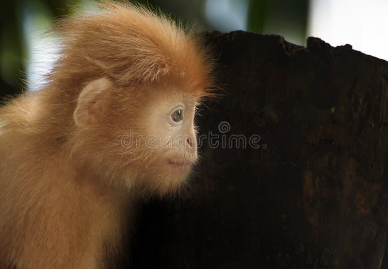 Zoo de Singapour de langur de Javan images libres de droits