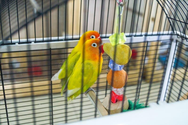 Zoo del contatto I piccioncini adorabili stanno sedendo in una gabbia fotografia stock