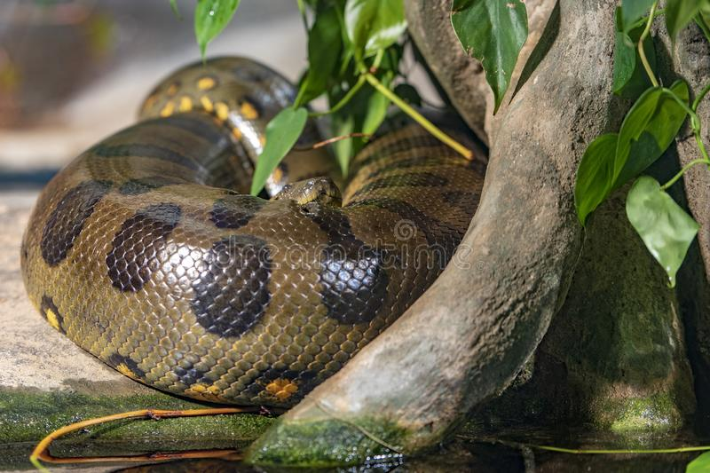 Zoo di Praga in cui vediamo l'anaconda fotografie stock
