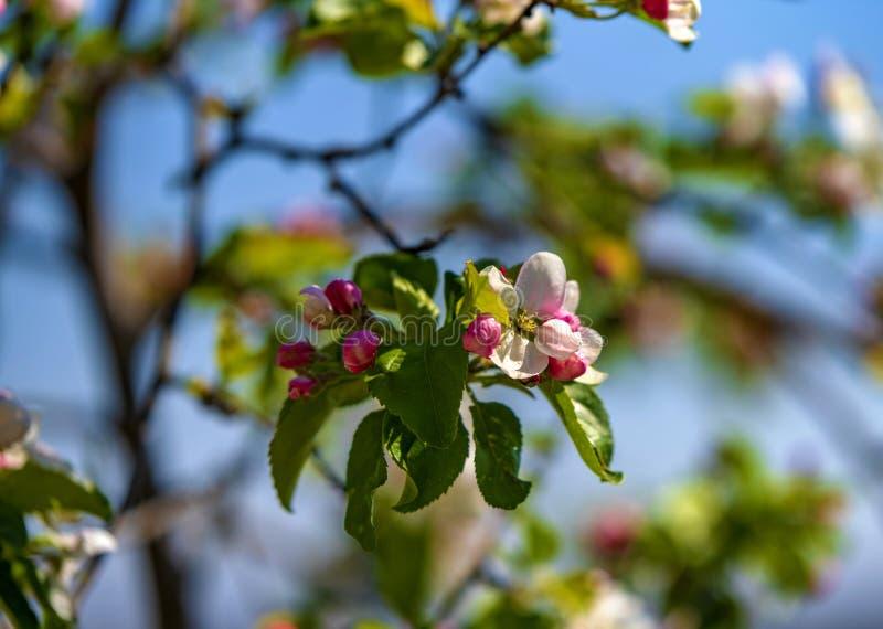 Zoo di Praga e ciliegia di fioritura immagini stock