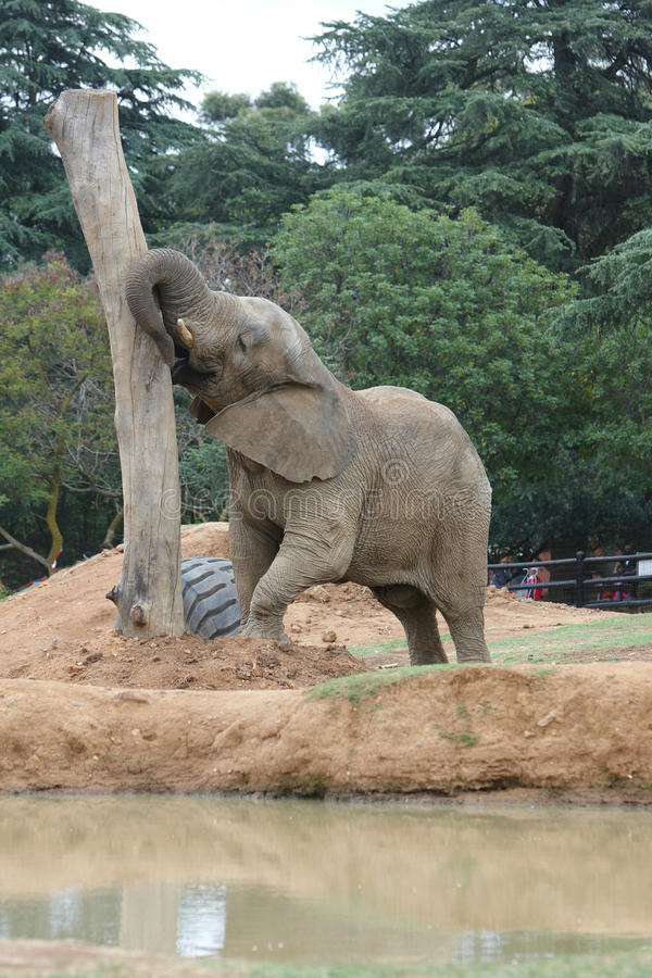 Download Zoo Elephant Royalty Free Stock Photography - Image: 13403677