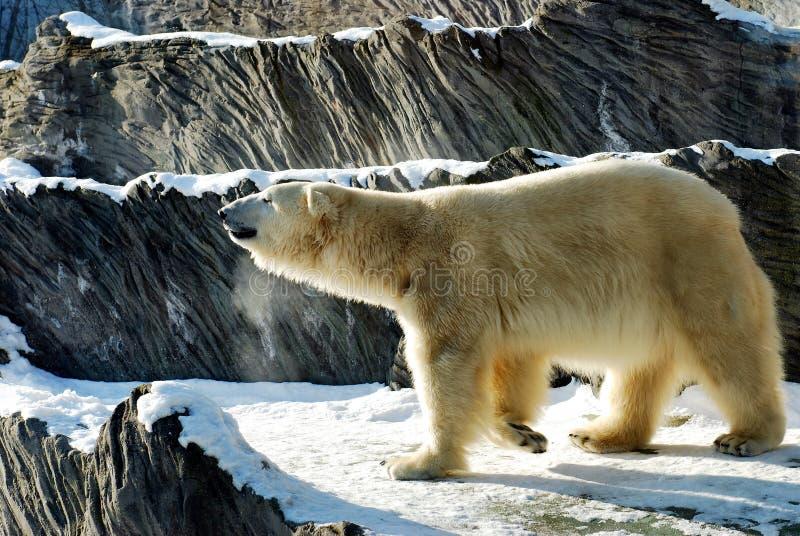 zoo för björnprague white royaltyfri fotografi