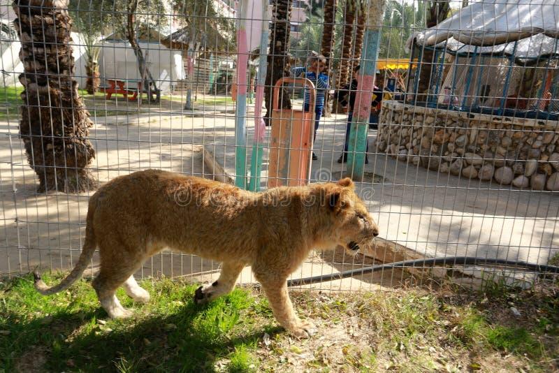 Zoo i Rafah ger besökare en möjlighet att spela med djur i Gazaremsan arkivbilder