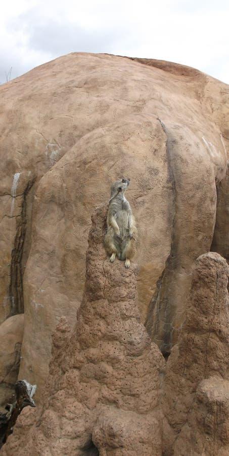 Zoo Meerkat arkivfoto