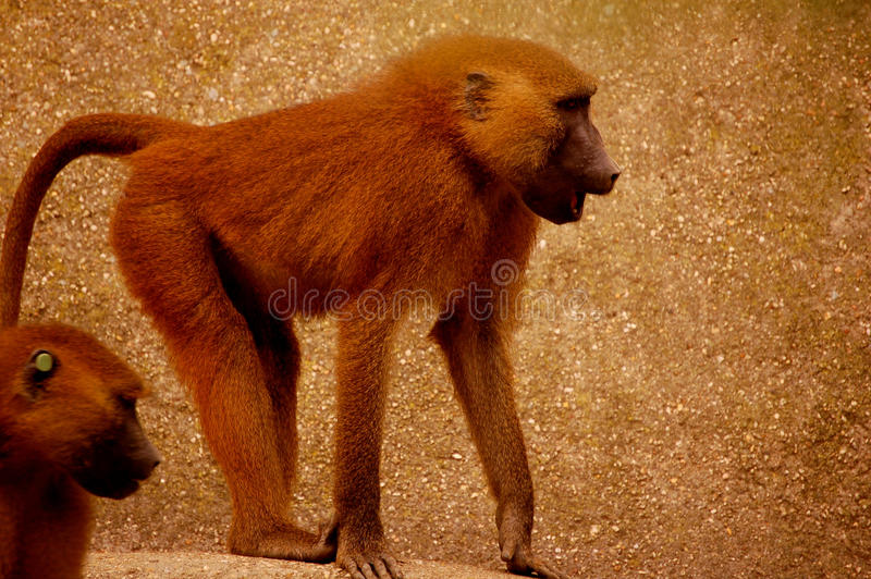 Zoo monkey. A monkey (baboon) from a french zoo stock images
