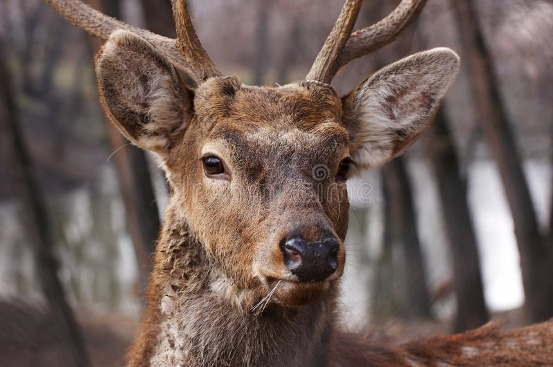 zoo na jelenie obraz royalty free