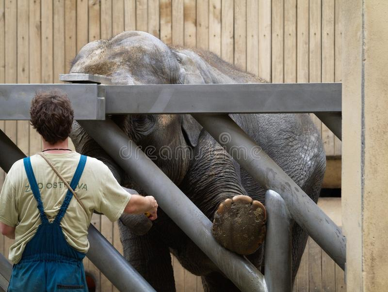 The Zoo in Ostrava. The man is feeding elephant in zoo in Ostrava in Czech Republic royalty free stock photos