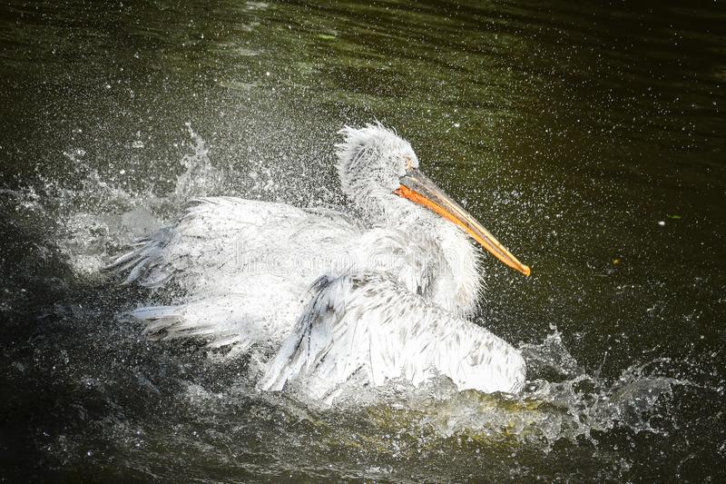 Portrait of pelican flailing wings stock images