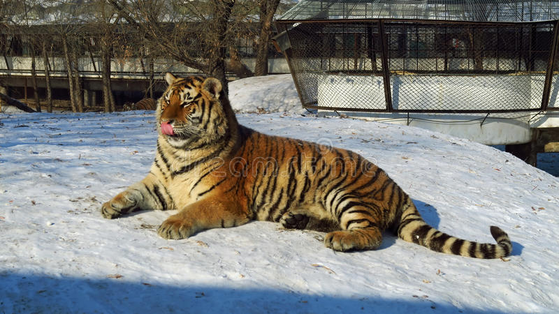 Zoo siberian tiger. Siberian tiger at winter time in a zoo royalty free stock photos