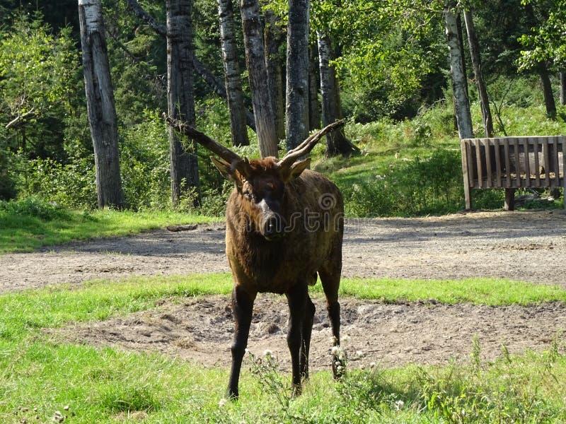 Zoo-St. Felicien: Waldkaribu lizenzfreies stockfoto