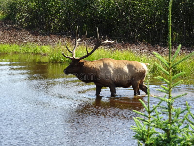 Zoo-St. Felicien: Waldkaribu lizenzfreie stockfotos