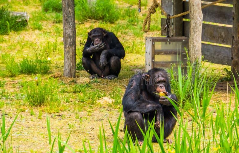 Zoo zwierzęcy karmienie, dwa Zachodniego szympansa je jedzenie, krytycznie zagrażający prymasu specie od Afryka obrazy royalty free