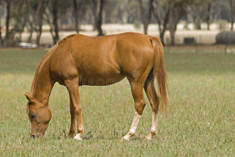Download Zoogdier stock afbeelding. Afbeelding bestaande uit paard - 39118417