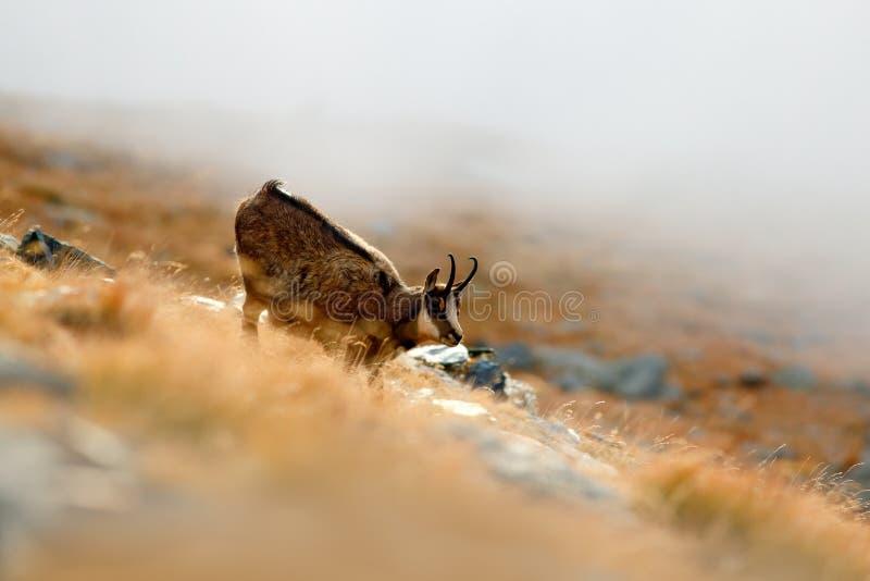Zoogdier in de mist Gemzen, Rupicapra-rupicapra, op de rotsachtige heuvel met de herfstgras, berg in Gran PAradiso, Italië Het wi royalty-vrije stock foto's