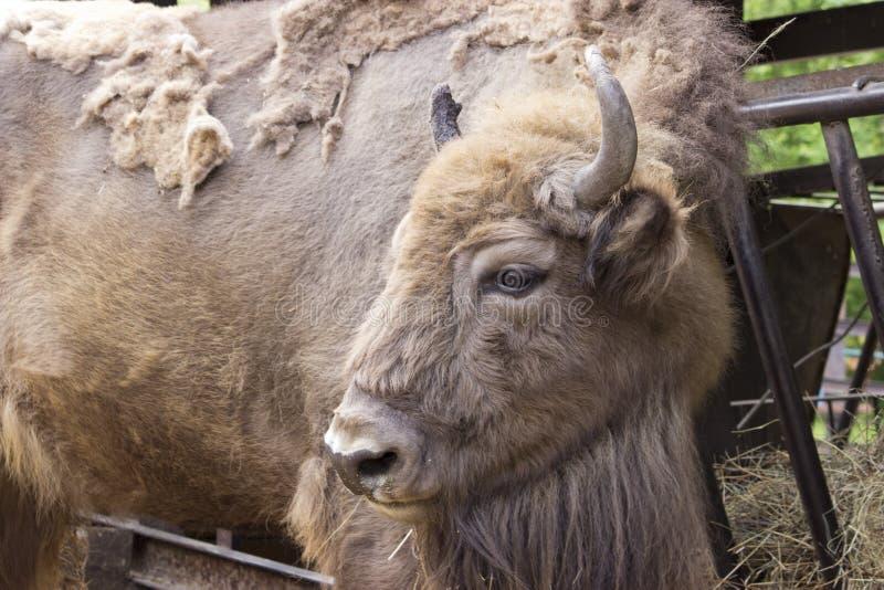 Zoogdier-Europese bonasus van de bizonbizon in de zomer stock fotografie