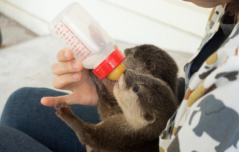 Zookeeper feeding baby otter. With milk replacer royalty free stock images